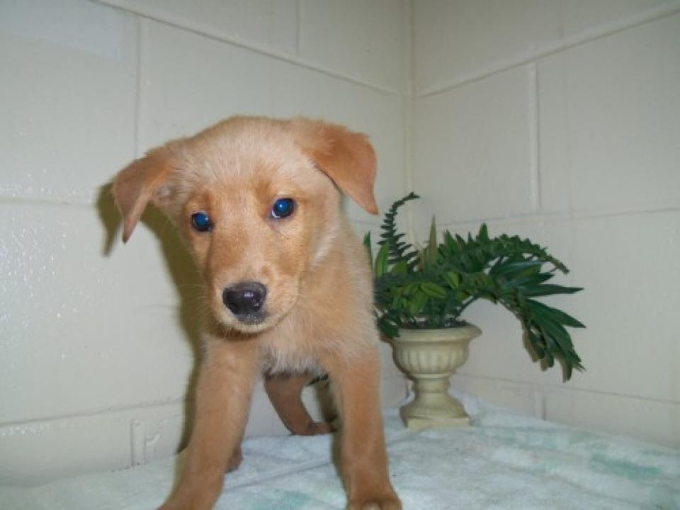 Help Save Eight Golden Retriever Mix Puppies Georgia Politics