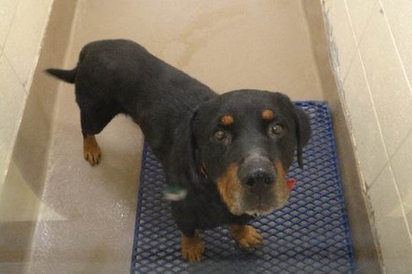 Hamilton Hound Mix Rottweiler or hound mix