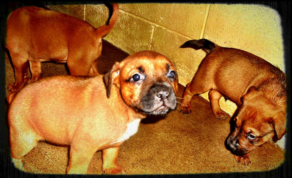 MurrayThreeBoxerPuppies