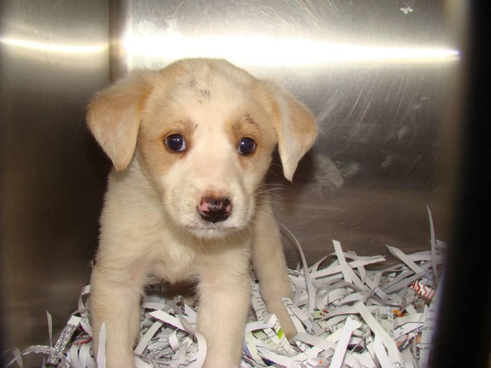 Tan white Puppy