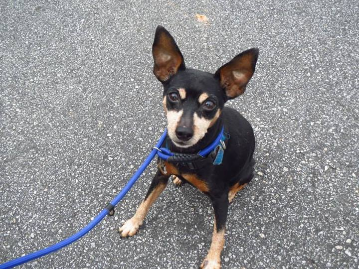 ... year old Chihuahua-Miniature Pinscher mix female ready for adoption