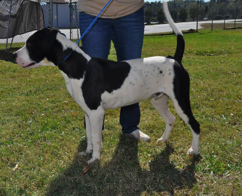 Pitbull Great Dane Mix as a Great Dane Mix