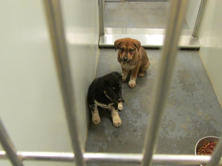 Barrow Pups1