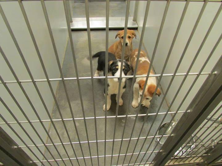 Barrow Pups2