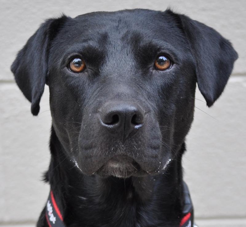 Atlanta Lab Rescue Dogs