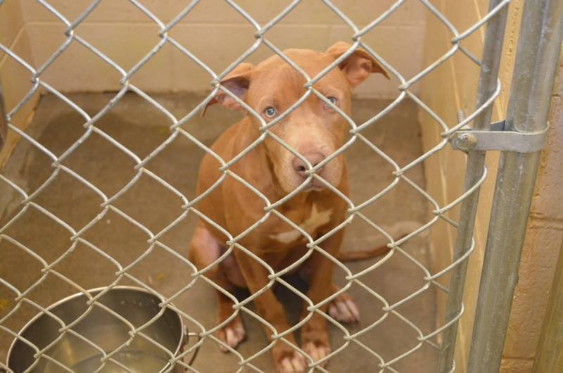 142101_UNO_Male_Pit_-_young_sweet_~_friendly_little_boy_~_responds_well_tovolunteers