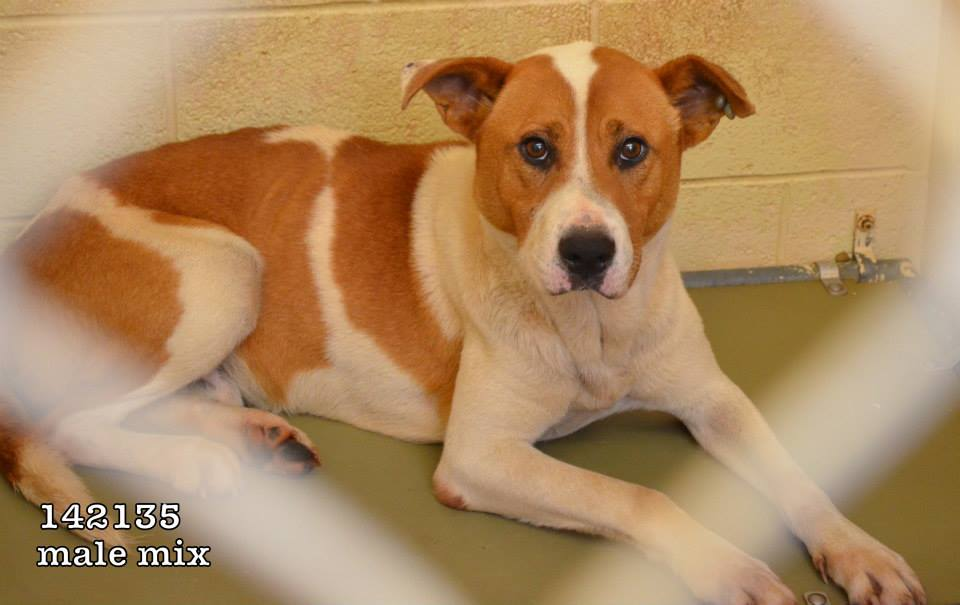 142135_TRUCKER_Male_Hound_mix_--_one_of_the_best_looking_dogs_ever_at_thisshelter_--_nice_too!!!