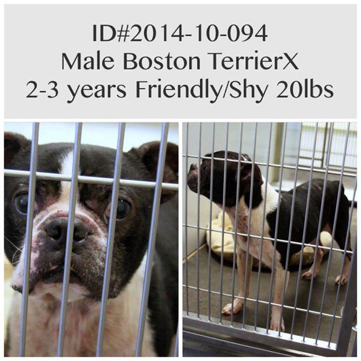 Male Boston Terrier