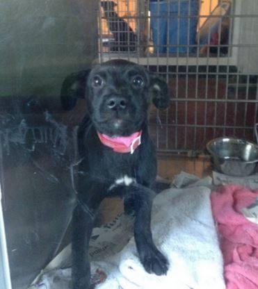 Gwinnett42686 Lab Puppy