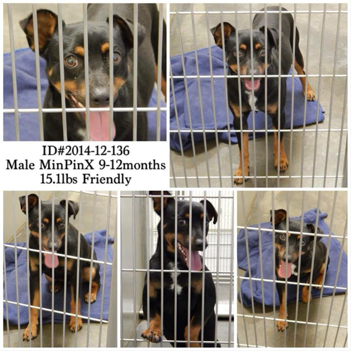 MinPin Male 2