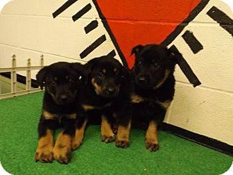 Shep Pups