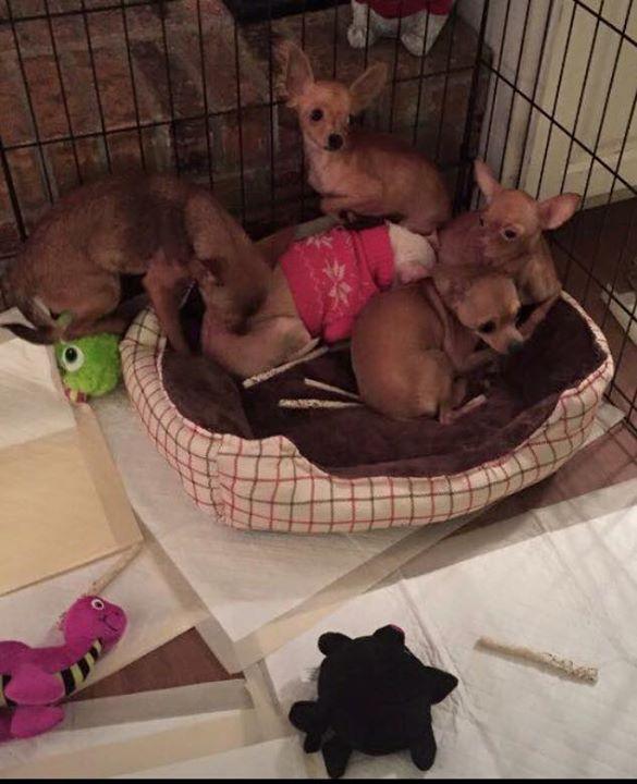 Gwinnett Chihuahuas