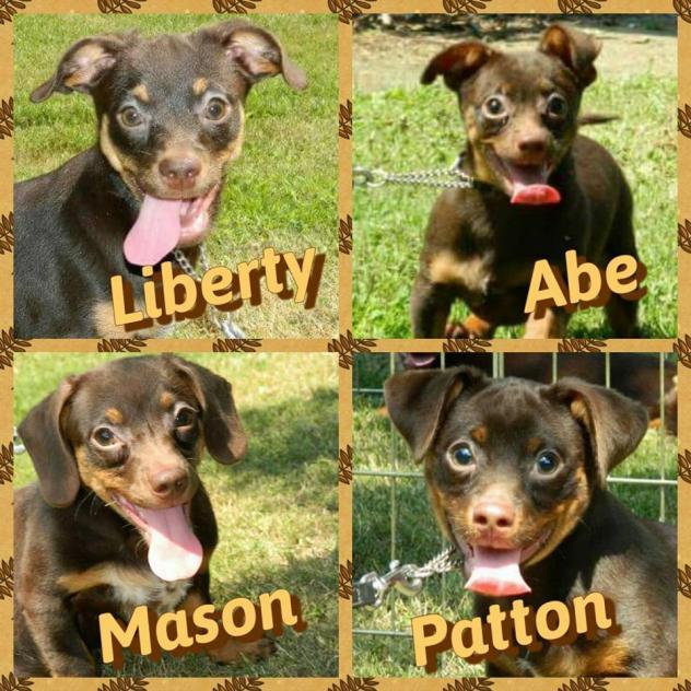 Abe_puppies