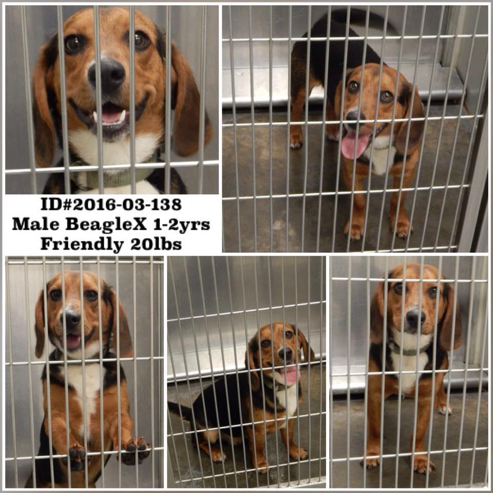 Barrow Beagle