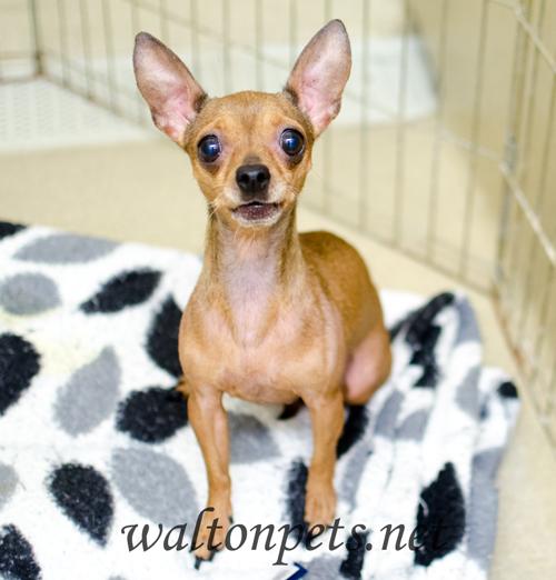 Georgia Chihuahua