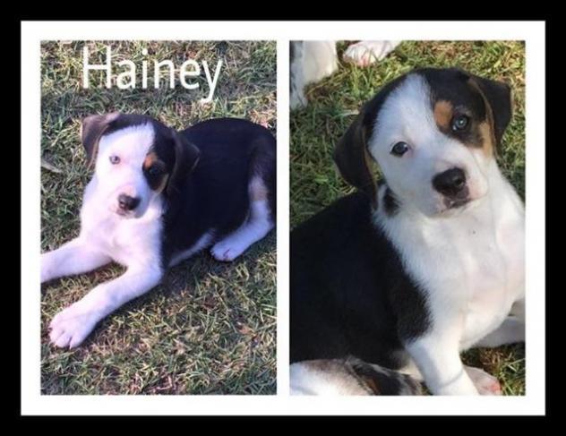 Hainey