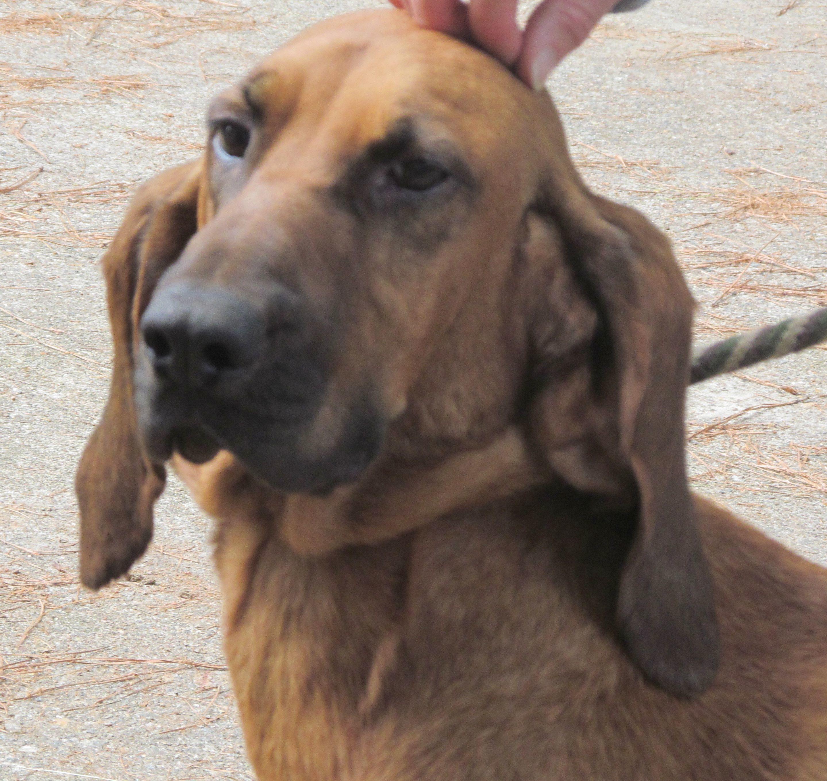 Olive Bloodhound