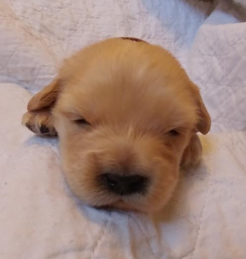 Rennet Puppy