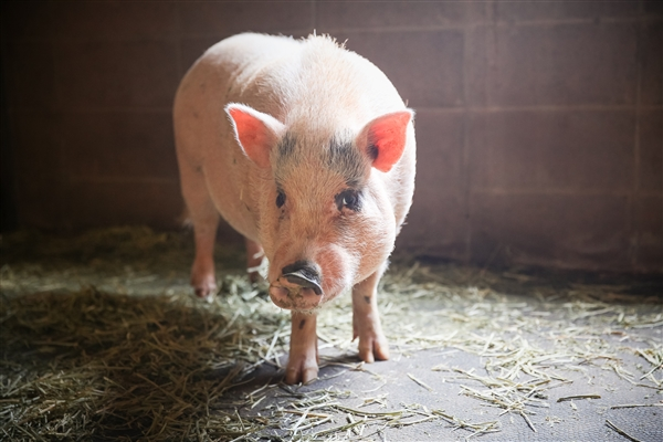 Peter Pig Gwinnett