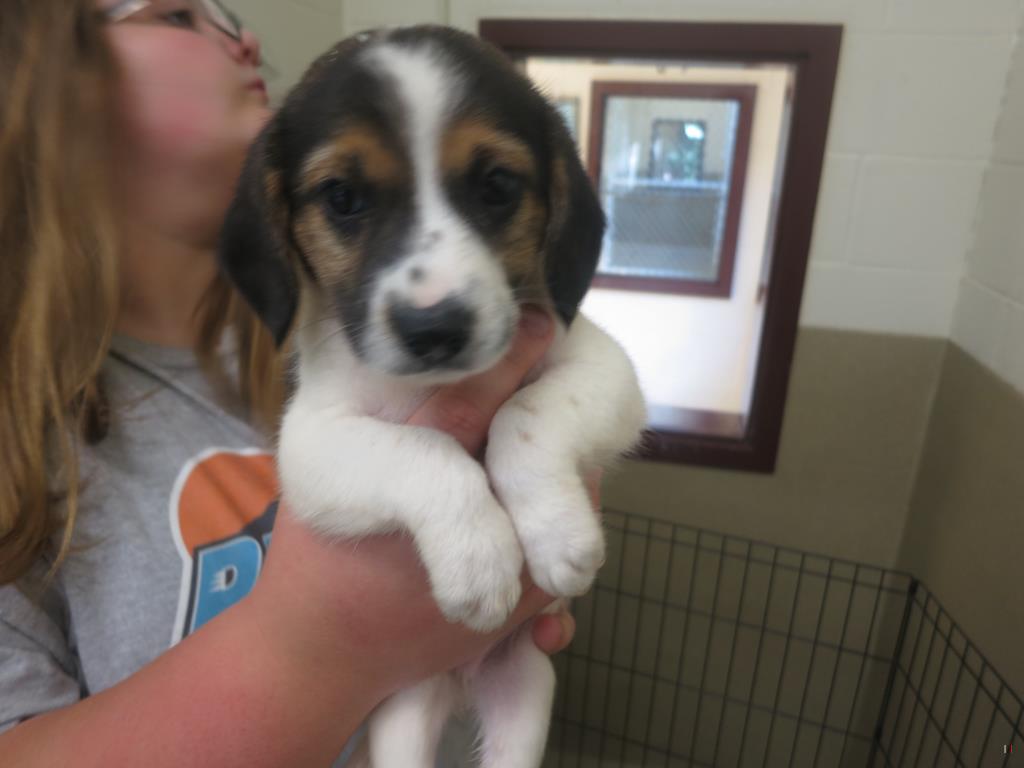 Walton Beagle Pup 2
