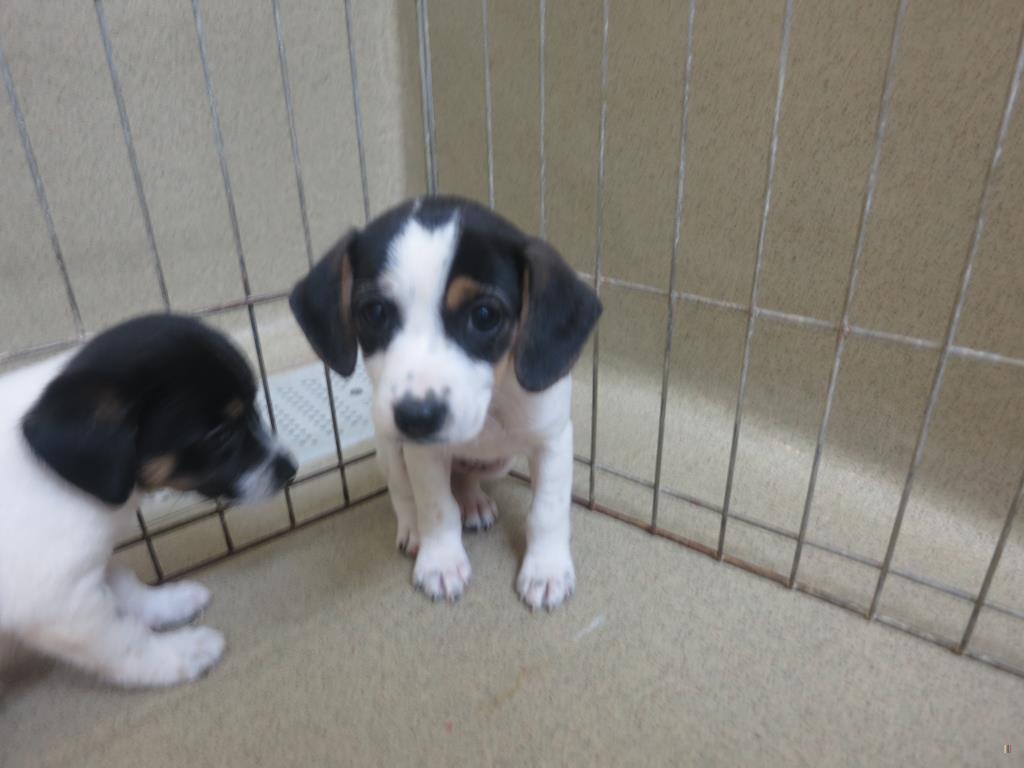 Walton Beagle Puppies