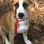 Adoptable (Official) Georgia Dogs for June 4, 2019