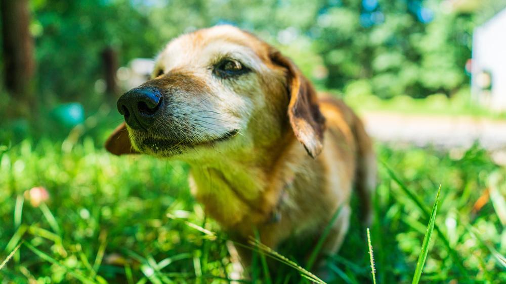 Bella Old dog
