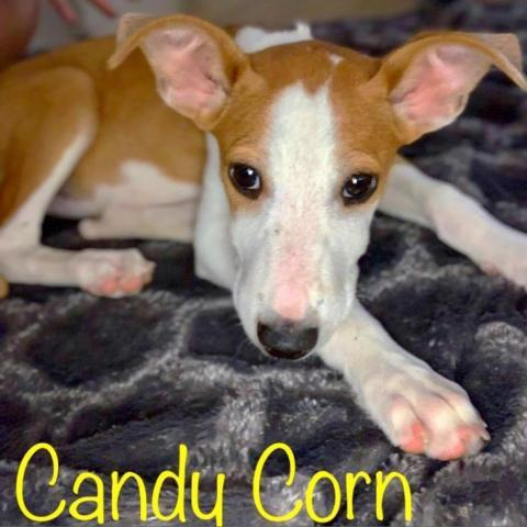 Candy Corn PAWS Humane
