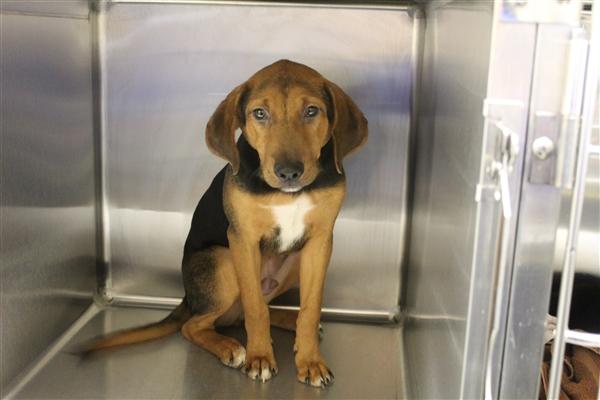 Hound Puppy Gwinnett