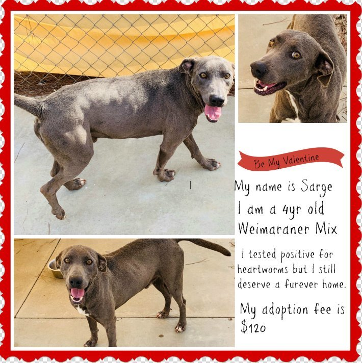 Sarge Lee County Animal Shelter