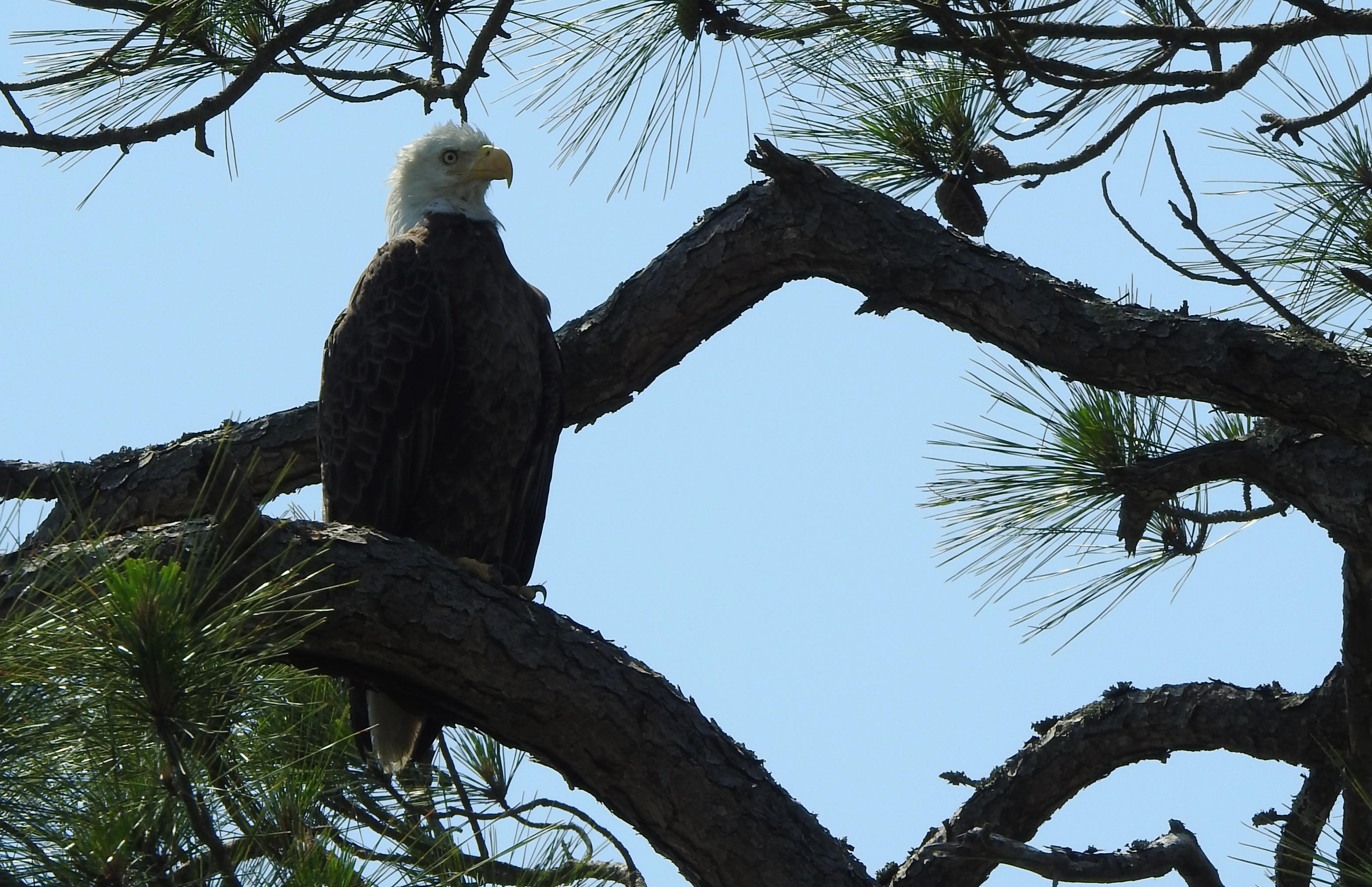 Wassaw Bald Eagle DSCN0812 (1)