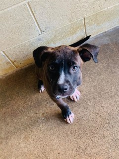 15873 Puppy Murray County Animal Shelter