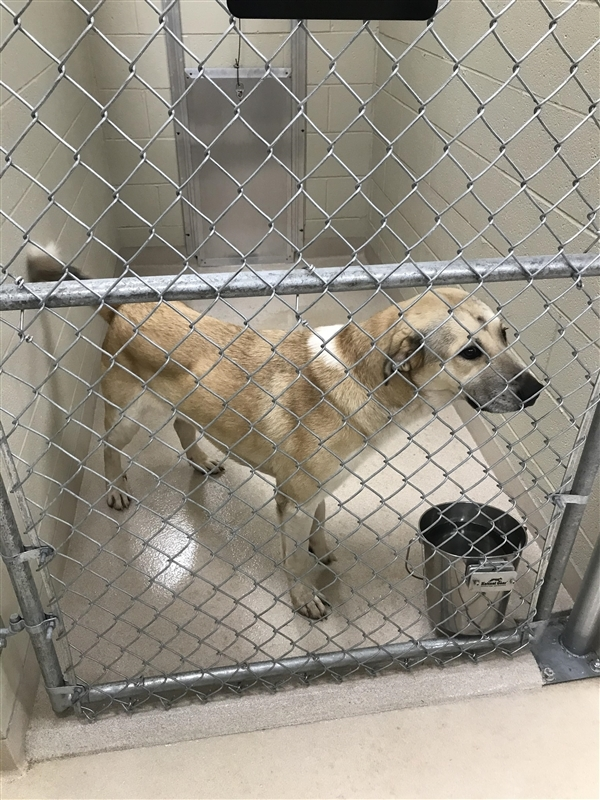 Shepherd Puppy Newton County Animal Control