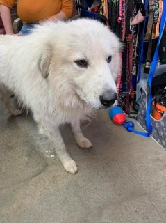 16114 Great Pyrenees Murray County GA Animal Shelter